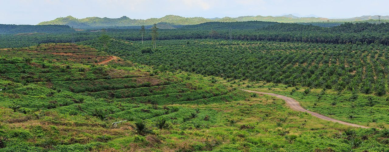 Palm oil plantation - Wikimedia