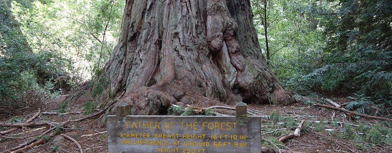 CaliforniaRedwood - Wikimedia