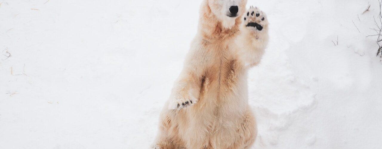 Polar Bear by Menlong Bao