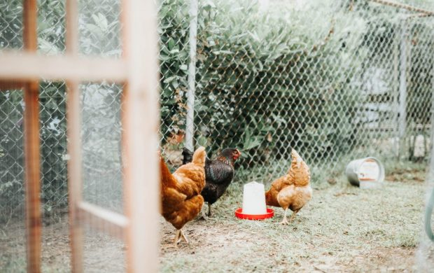 three brown and black hens with gray metal fence at daytime