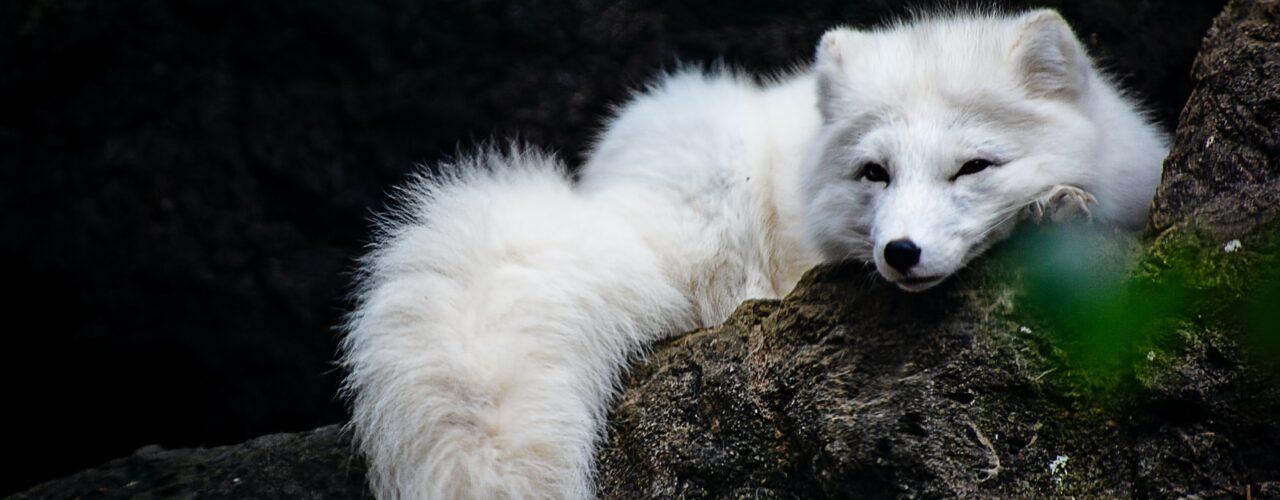 white fox lying on ground